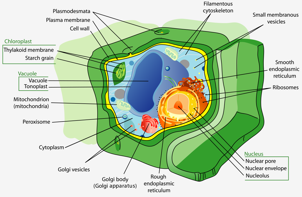 diagram of a plant cell strucyure
